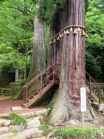 比叡山麓の山王総本社「日吉大社」を勧請した全国3800社のうちの一つ。修禅寺の創建時に「山王社」として建立されました。  画像の注連縄が張られた巨木は「子宝の杉」。樹齢800年の二本の御神木の根本は一つに繋がっています。杉の間を通ると、子宝に恵まれると言い伝えられています。