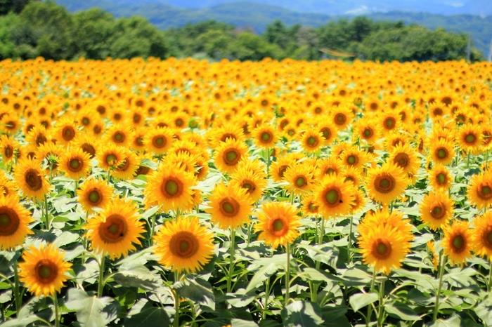 写真はロケ地とされる、山梨県北杜市明野のひまわり畑。 毎年、約60万本ものひまわりが咲き誇る「サンフラワーフェス」も開催されるので、気になる方は調べてみて。