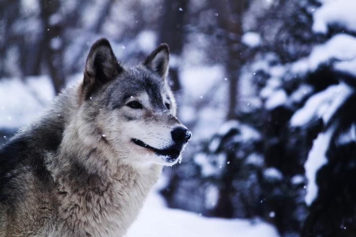 シンリンオオカミは、冬毛に生え変わって威厳ある姿に。「エゾシカ・オオカミ舎」や、リニューアルされた「サル山」、亜熱帯を再現した「アジア館」など、暖を取りながら室内から動物を見られる建物が園内にいくつもあるので、冬の見学も安心です。