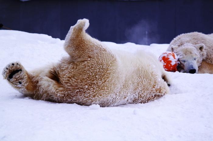 大人も子供も、札幌市民みんなに愛される「円山動物園」。シロクマやユキヒョウ、レッサーパンダなどは冬も元気!白い雪の上でのびのび活動する姿が見られます。