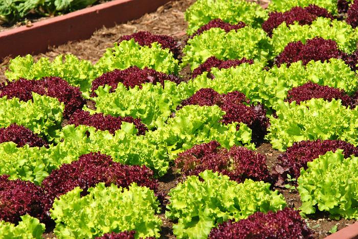 葉っぱの色の違いを利用して、計算された美しいポタジェガーデンを作ってみるのも面白い!収穫した野菜をいただきながら美しい菜園を眺めるなんて素敵ですよね。
