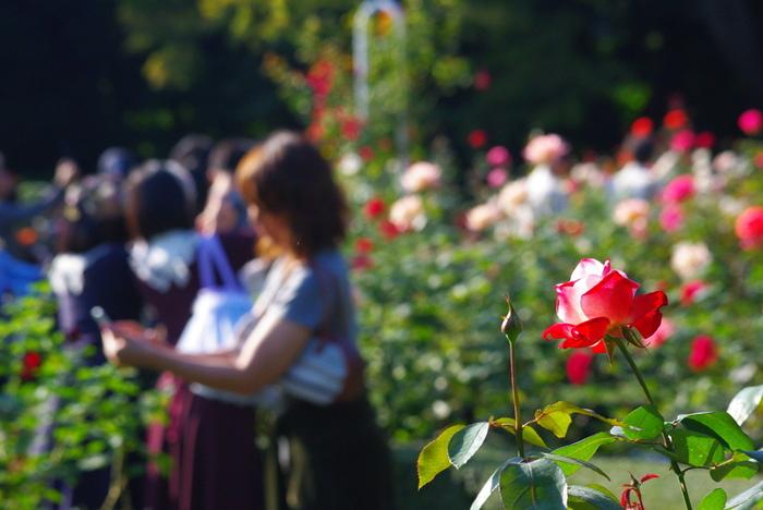 バラの季節は一年で最も見どころたっぷりのシーズン。都内はもちろん遠方からも多くの人が訪れます。