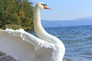 夏でも住み着いている白鳥がいて、時折その美しい姿を見せてくれます。