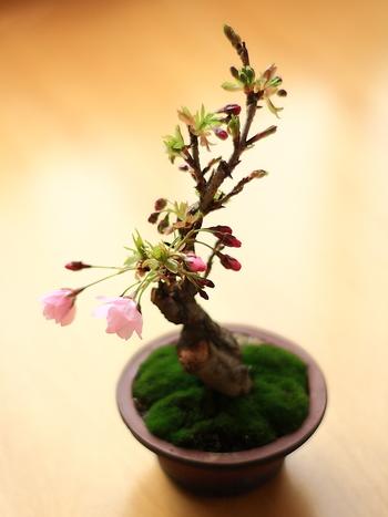 花や実のなる花物盆栽もあります。 これがあればお部屋の中でもお花見ができちゃいますね。 小さくても見事に咲き誇っています。