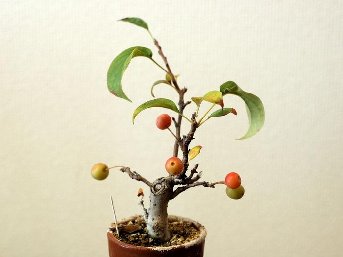 色づき始めた「深山カイドウ」。ミニ盆栽とともに季節の流れを感じることができます。