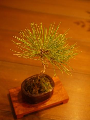 盆栽と言えば、最初に思いつくタイプは松などの常緑樹。小さくても立派な貫禄のある盆栽です。洋風のインテリアに置いても可愛いですよ。