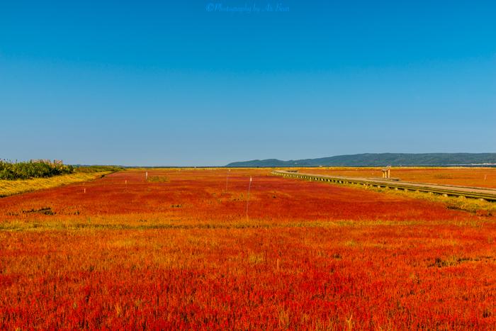 能取湖は、サンゴ草の群生地としても知られています。北海道に秋が訪れる9月頃に、一面に真っ赤なサンゴ草が生い茂り、赤色の絨毯を敷き詰めたような姿となります。