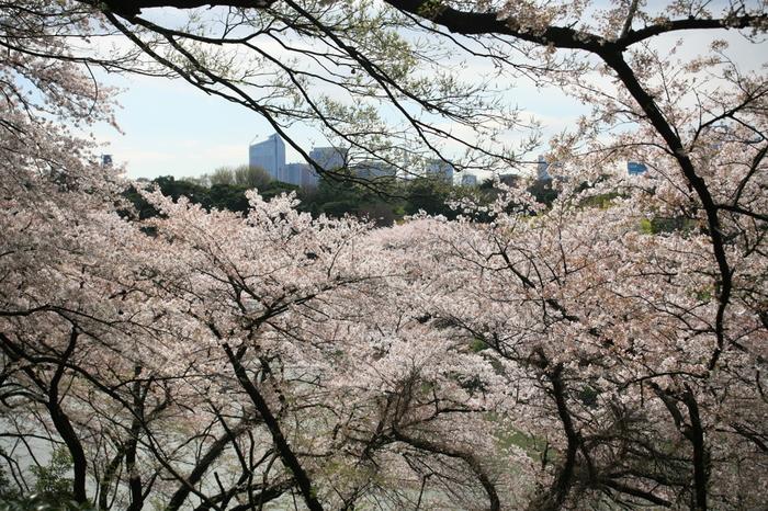 北の丸公園から見た千鳥ヶ淵の桜。人出が多い千鳥ヶ淵とは異なり、ゆっくり桜を眺めることができます。