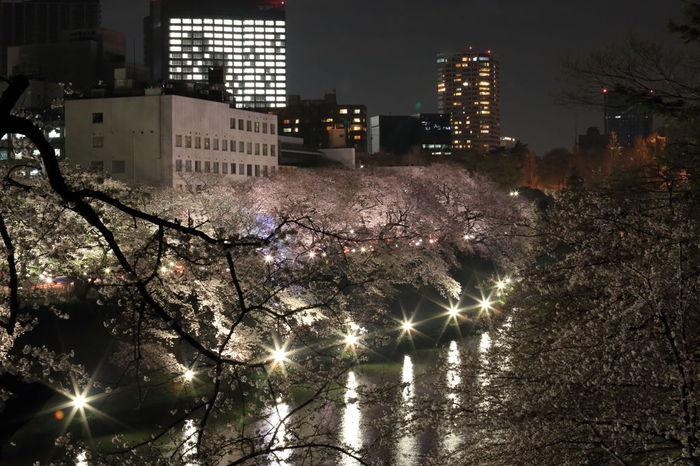 夜にはライトアップされて昼とは異なる美しさに。夜桜も素敵ですね。
