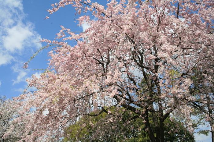 こちらは北の丸公園の枝垂桜。北の丸公園内にも約330本の桜があるので、そちらも楽しめます。