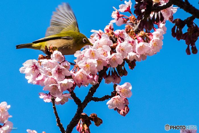 新宿御苑は桜の種類が65種類と豊富なのも魅力です。こちらは寒桜。