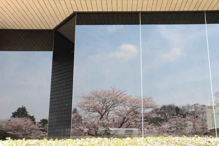 国立歴史民俗博物館のエントランスホールにあるガラスに映りこんだ桜。これを屏風絵に見立てて、ライトアップした夜桜を楽しむ「歴博夜桜鑑賞の夕べ」というイベントも行われています。