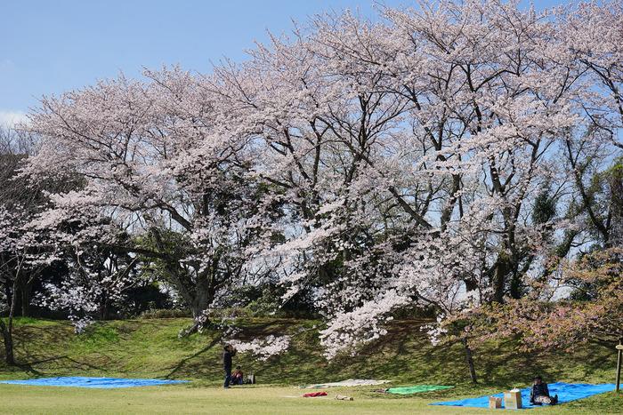 約50品種・約1100本の桜が楽しめる佐倉城址公園。あまり混雑しないので、落ち着いてお花見できる穴場的な場所です。