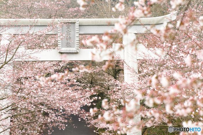 愛宕山にはたくさんの種類の桜があり、それぞれ開花時期が異なります。そのため、人出が一時期に集中せず混雑しにくいんです。桜に囲まれる鳥居が素敵ですね。