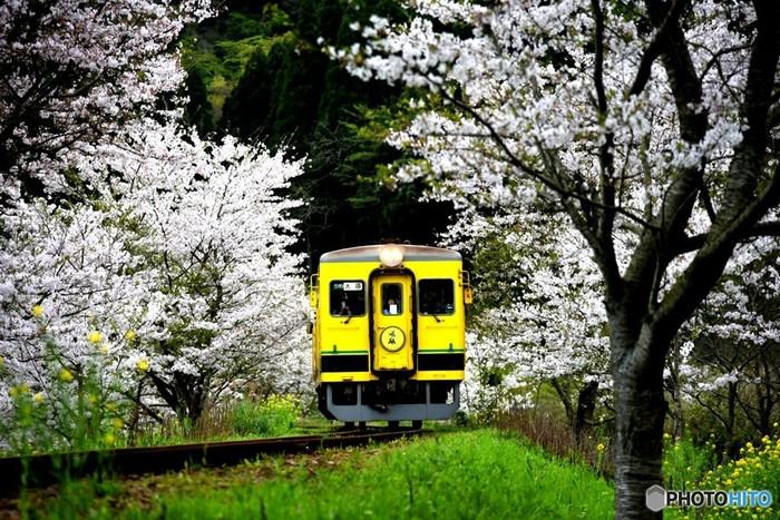ハーブアイランドへの交通でおすすめなのは、春にいすみ鉄道で来るルート。沿線には菜の花と桜並木の見所がたくさんあります。茂原駅からよりもちょっと遠回りとなりますが、春爛漫な車窓を楽しめるのんびりローカル線旅ができますよ。