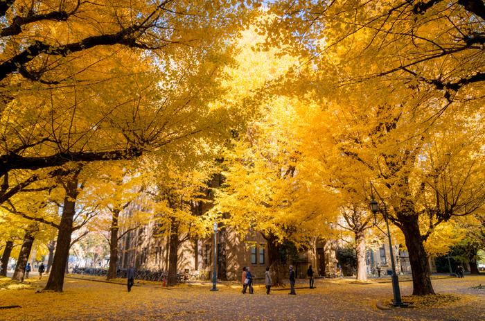 構内は自然豊か。夏に青々と陽を遮っていた銀杏並木は、季節になると黄金に輝きます。