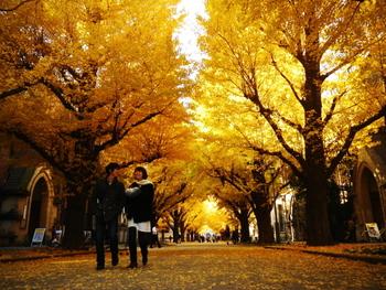晩秋から初冬にかけて東大を彩るのは、正門から安田講堂へと続く銀杏並木。