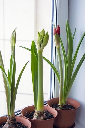 だんだんと暖かくなってきた今が、春植え球根を植え付けるチャンス。 すくすくと成長する芽を見守るのってなんだとっても癒されます。