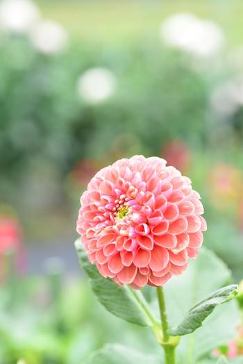 スウェーデンの植物学者アンデシュ・ダールの名前に由来しているダリア。 日本には江戸時代にオランダ人によってもたらされ、花の形がボタンに似ているため天竺牡丹(テンジクボタン)とも呼ばれています。
