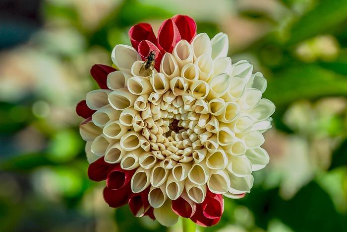 ダリアは花形のタイプによって10数種に分類されます。 豪華で力強く咲く大輪種から、優雅な中輪種や可憐な小輪種、シンプルな一重咲きや変化咲きなど、たくさんの種類を楽しむことができますよ。