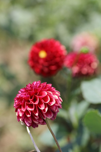 栽培も比較的簡単でで開花期も長いダリア。 花色が鮮明で花数の多くなる秋には、花壇の主役になりますよ。