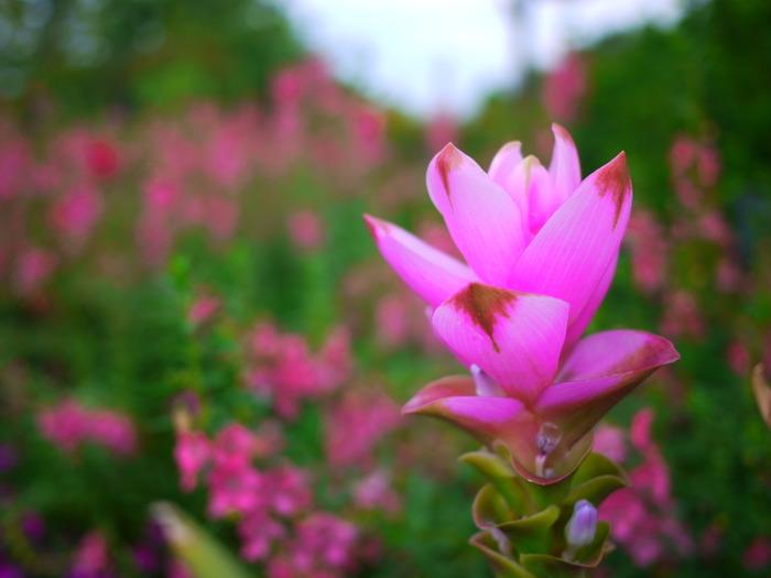 クルクマは東南アジア原産のショウガやウコンの仲間の球根植物です。 タイでは根をカレー粉や薬用としても使われているそうです。