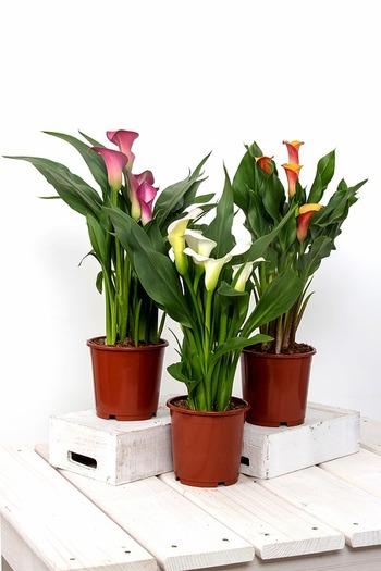原産地の南アフリカでは「varkoor(豚の耳)」とも呼ばれ、英語では花がユリのように白いので、カラーリリー(calla lily)と呼ばれています。