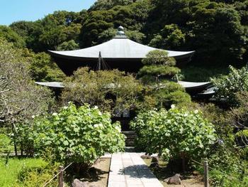 """「花の寺」としても名高い、「瑞泉寺」。 四季折々に咲く花々がこの境内には植えられていますが、8月から9月にかけては""""芙蓉""""が咲き乱れます。  特に""""芙蓉""""が綺麗な寺としても知られる瑞泉寺。 妙法寺の""""紅芙蓉""""、瑞泉寺の""""白芙蓉""""として、並び称されています。"""