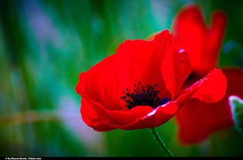 赤いコクリコは「喜び」・・・コクリコは、ひなげしのフランス名です。色によって花言葉が異なるところが面白いですね!白いコクリコには「眠り」「忘却」という花言葉になります。日本名のひなげしは、雛のように愛らしい形に由来しています。