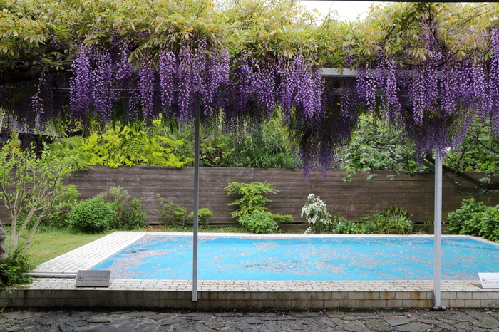 横山邸のプールや藤棚はそのまま残っており、縁側でくつろげます。軒も長いので、日差しや雨も気にならず過ごせるのがうれしいですね。四季を感じながらコーヒーを楽しめます。八重桜の花びらがプールに浮いています。プールのブルーと桜色のコントラストが素敵すぎます!この光景を見ながらのコーヒータイムは優雅ですね。