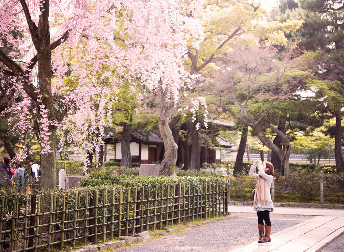【「建仁寺」の桜は、あまり知られてはいませんが、境内にはソメイヨシノや枝垂れ桜もあり、花見も楽しめます。】