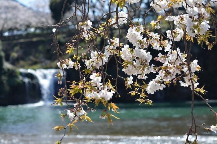桜越しの滝。とても素敵なシチュエーション。公園内は紫陽花も多く植えられていて、梅雨の季節には滝によく映える花色が目を楽しませてくれます。