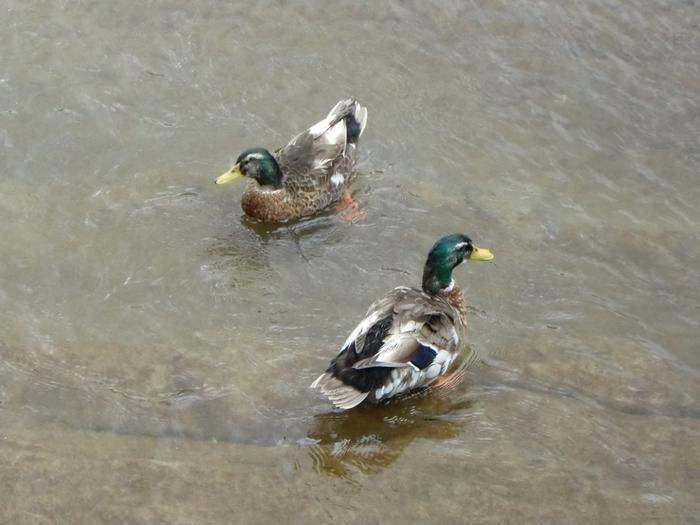 たくさんの鴨がスイスイと気持ち良さそうに泳いでいます。とても人に慣れてるので、近くまで寄って撮影することもできるそうです。