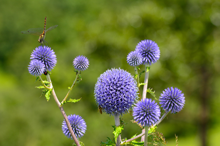 また近くにはヒゴタイ公園があります。瑠璃色のぼんぼんのようなヒゴタイのほか、季節の花々が目を楽しませてくれます。カメラを持って立ち寄りたいところですね。