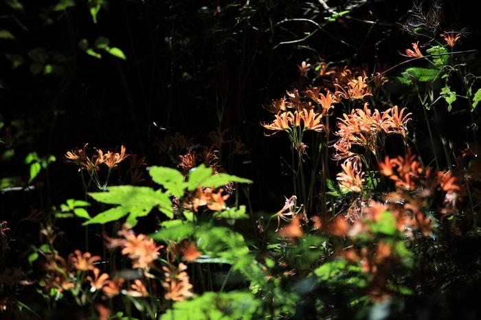 また野河内渓谷入口から井原山へと続く登山道はオオキツネノカミソリの群生地としても有名です。7、8月の花期には斜面を覆い尽くすオレンジの花が見られます。せっかくだから山歩きの準備をして、ここまで足を伸ばしてみるのもいいですね。