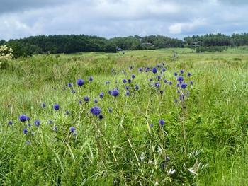 またタデ原湿原は山野草の宝庫でもあり、春はリュウキンカやハルリンドウ、夏はキスゲ、ヒゴタイ、ハナショウブ。秋はアケボノソウやこちらの写真のシラヒゲソウなどが湿原のあちこちで咲き乱れます。ひとつひとつは小さい花だけど、それだけに巡り会えた時の喜びはひとしお。是非カメラを持って探してみてください。