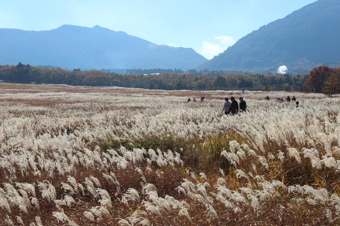 秋のタデ原湿原は、背高く繁ったススキが一面を覆い、遊歩道を歩けばファンタジー映画「ホビット」や「ロード・オブ・ザ・リング」の登場人物にでもなったような気分。ちょっとした感動を味わえますよ。