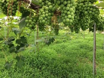 安心院(あじむ)ワインで有名な宇佐市安心院は大分屈指のぶどうの産地です。温度差のある盆地特有の気候で出来る良質の葡萄から安心院ワインは作られています。