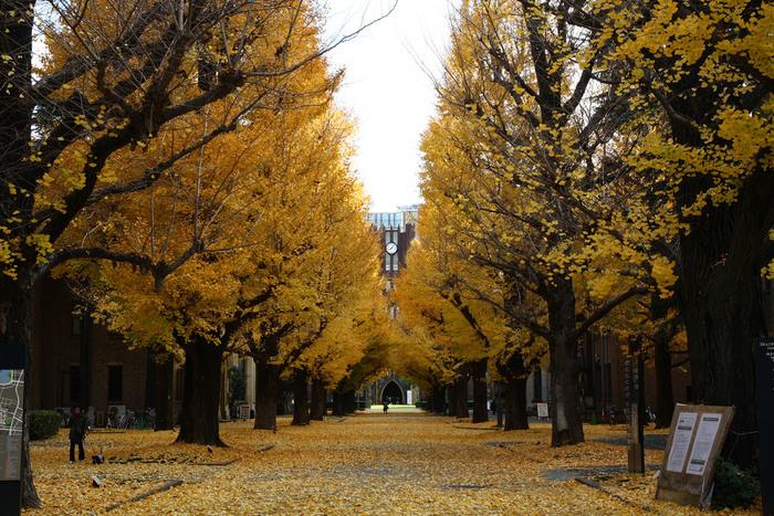 銀杏並木の正面が、「赤門」と並んで本郷キャンパスを代表する建造物「安田講堂」(東京都登録有形文化財第1号)。この風景もまた東京大学を象徴するもの。