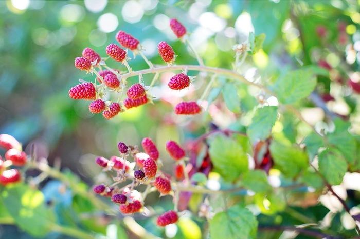 樹高の低い落葉果樹で、日本でも野山などで多く自生していますが、病害虫がつきにくく、プランターでも手軽に育てることができます。