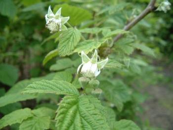 白い花が咲いたらもう少し。可愛らしいラズベリーの花は観賞用にも楽しめますね。