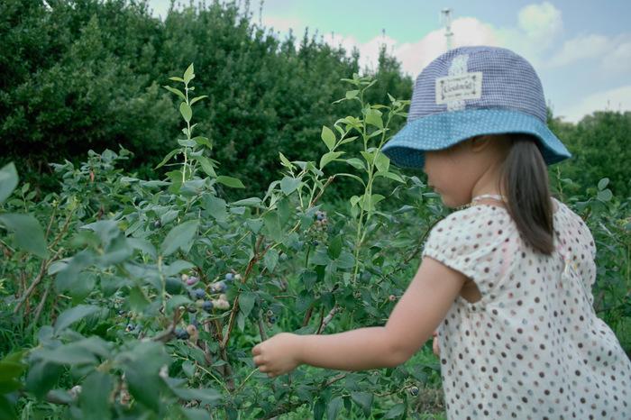 ラビットアイ系(温暖地用)の苗。このくらいの大きさのものがおすすめです。他にハイブッシュ系の苗もあります。栽培する地域にあわせて選びましょう。 植え付けは、関東では2月から3月が適期ですが、関東以西では秋、寒冷地は4月以降の春がよいそうです。