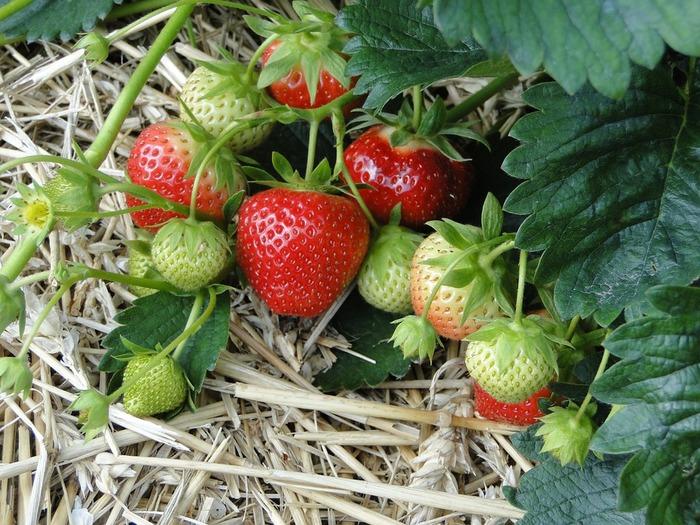秋から冬へと季節が変化していく10月~11月あたりに、株間を25cmぐらいあけて植え付けを行います。苗が成長し始めるのは3月以降で、冬場は降霜対策のために寒冷紗などで守るとよいそうです。 イチゴは冬越しをさせる必要がありますが、これから育てたい場合はホームセンターに出てくるプランターに植わっている開花苗を使うこともできます。結実についてはお店で尋ねてみることをおすすめします。専用土や肥料もホームセンターで購入できますよ。