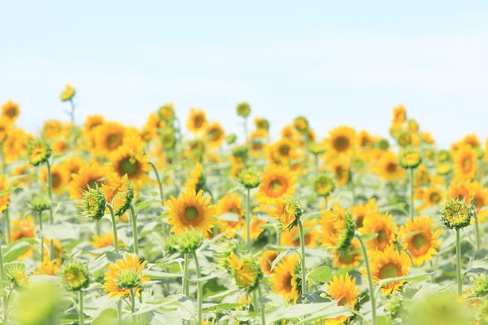 大自然や動物たちとゆるやかに楽しく過ごせる「淡路ファームパーク イングランドの丘」。大花畑には毎年、菜の花やひまわり、コスモスが季節ごとに綺麗な景色を繰り広げてくれます。その他、バラ園や温室などたくさんの植物を鑑賞することができます。