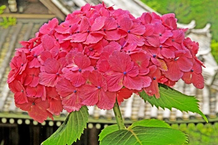 桜や紅葉の季節が注目されがちですが、初夏から夏にかけての京都にも大変魅力があります。初夏には紫陽花や蓮の花などの花々が愉しめ、夏になると真っ青な青空と緑々しい緑のコントラストもとっても素敵です。また日本三大祭の一つである祇園祭も見どころがたくさんあります。 そんな夏の京都での一休みには、ひんやり冷たいかき氷はいかがですか?美味しいかき氷が食べられる素敵なお店をご紹介します。