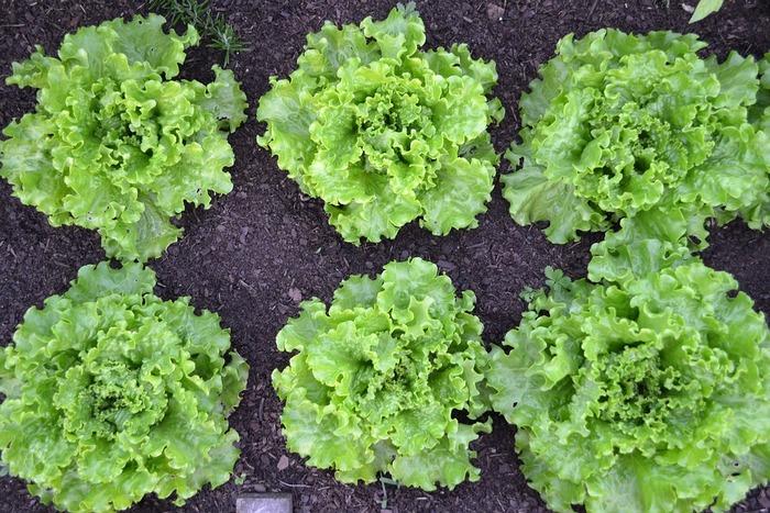 レタスは育てるのに時間がかかりますが、リーフレタスならプランターで気軽に育てられます。若々しい葉は、柔らかくて甘くておいしいです。外側の葉から収穫しましょう。