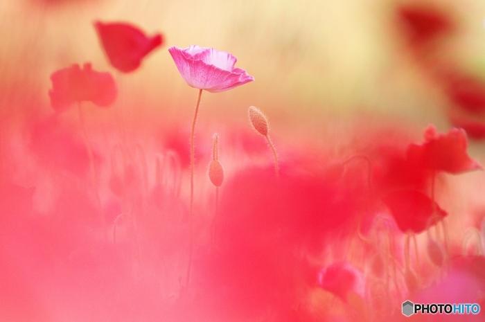 原野で咲く野生のコクリコは、誰の手も借りず自力で群生する健気な花です。痩せた土地に生きる強い花でありながら、切り花にはできないほど繊細で弱い花。フランスの巨匠ミッシェル・アンリが描いたように、ゴダンもまた、ありふれた野の花コクリコの赤い色に魅了された画家の一人です。ゴダンの絵からプロバンスの大地とコクリコの赤い色に幸福のエネルギーを感じていただけたでしょうか?