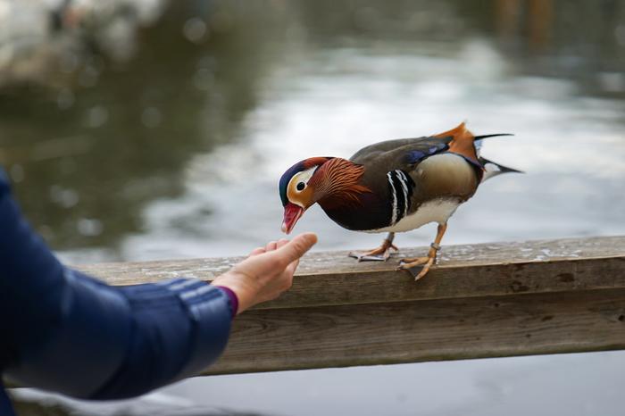 ペリカンラグーン内には、アヒル、カモ、ペリカン、オシドリといった水鳥が数多く飼育されています。餌をあげると、人によく馴れた水鳥たちがすぐ近くまで寄ってきてくれます。