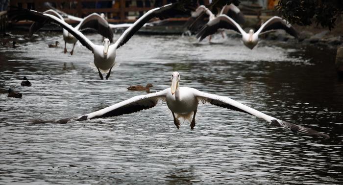 広大な池で、数々の水鳥が優雅に泳ぐペリカンラグーン。ここでは、モモイロペリカンが一斉に羽ばたきをするペリカンフライトを楽しむことができます。