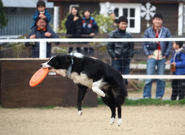 ドッグステージでは、調教師と牧羊犬が一体となったクオリティの高いドッグショーを楽しむことができます。みなぎる熱気の中で行われるドッグショーでは、牧羊犬の犬種による働き方の違いなど、丁寧な解説がされ、きっと満足できるはずです。